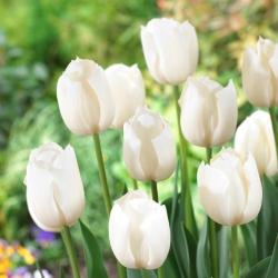 "Tulipán ""blanco"" - 5 bulbos -"