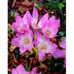 Kikerics - Lilac Wonder -  Colchicum