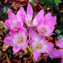 Őszi krókusz - 'Lilac Wonder' - nagy csomag - 10 db; réti sáfrány, meztelen hölgy -