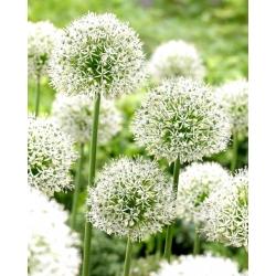 Allium Mount Everest - bebawang / umbi / akar