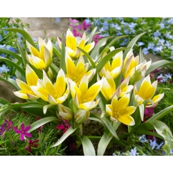 Komplekt 6 - Tulip Tarda - madala kasvuga, botaaniline - 50 tk -