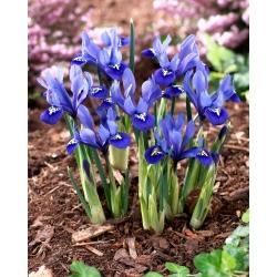 Recéshagymájú nőszirom - csomag 10 darab - Iris reticulata