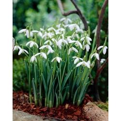 Gewoon sneeuwklokje - pakket van 5 stuks - Galanthus nivalis