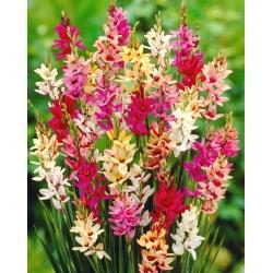 Ixia Mixed - Kukorica liliom színválaszték - XXXL csomag! - 1250 izzók -