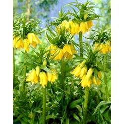 Fritillaria imperialis Lutea - Crown imperial Lutea