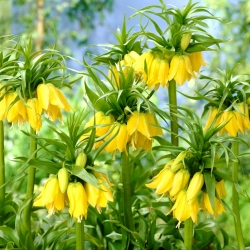 Yellow crown imperial – large pack! – 9 pcs