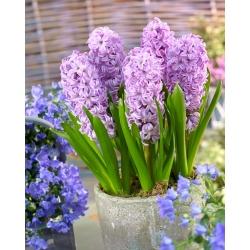 Hyacinthus Splendid Cornelia - Hyacinth Splendid Cornelia - 3 bulbs