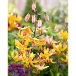 Лилия Martagon - желтый - Lilium Martagon Yellow