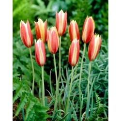 Botaaniline tulp - Cynthia - suur pakk! - 50 tk -