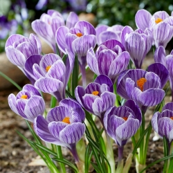 Crocus King of the Striped - Large Pack! - 200 pcs.