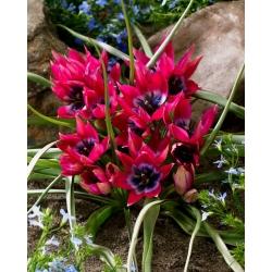 Tulip 'Little Beauty' - large package - 50 pcs