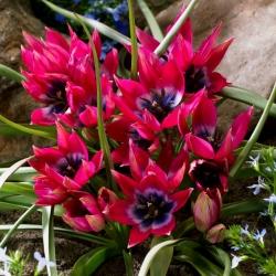 Tulipa Little Beauty - Tulip Little Beauty - 5 kvetinové cibule