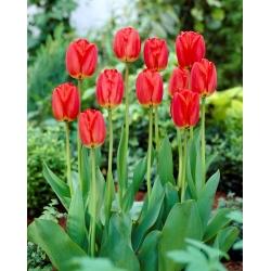 Парад тюльпанов - 5 шт. -