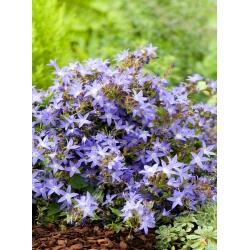 Serbian Bellflower, Blue Waterfall semena - Campanula poscharskyana - 480 semen