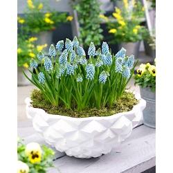 Grape hyacinth Aqua Magic - Paket Besar! - 100 pcs. -