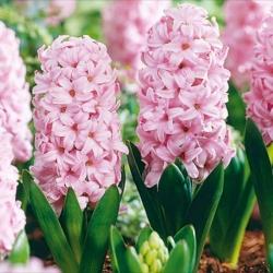 Hyacinth Fondant – large pack! – 30 pcs