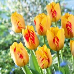 Tulip Olympic Flame - 5 pcs