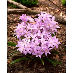 Chionodoxa Rose Queen - Glory of Snow Rose Queen - 10 bulbs