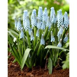 Muscari Ester - Hroznová hyacint Ester - 10 kvetinové cibule
