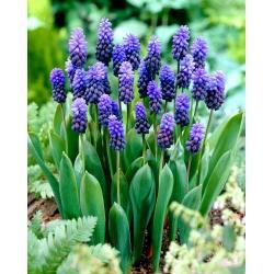 Broad–leaved grape hyacinth – Muscari latifolium – large pack! – 100 pcs