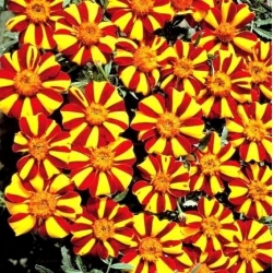 Marigold Mr. Majestic seeds - Tagetes patula nana - 105 seeds