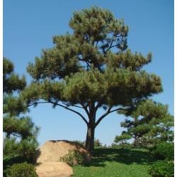 Japāņu melnā priede, melnas priežu sēklas - Pinus thunbergii