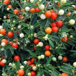 Jeruzsálem cseresznye, Madeira téli cseresznye mag - Solanum pseudocapsicum - 30 mag - magok