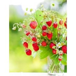Fresa salvaje - Regina - 320 semillas - Fragaria vesca