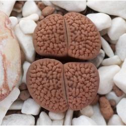 Živé kameny, oblázková semena rostlin - Lithops sp. - 50 semen