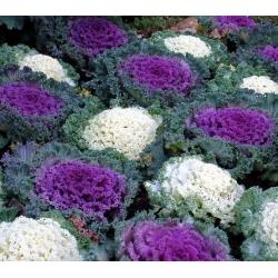 Okrasné kapusta, okrasné semená kale - Brassica oleracea - 200 semien - Brassica oleracea var. acephala