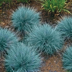 Blue Fescue seeds - Festuca glauca - 285 seeds