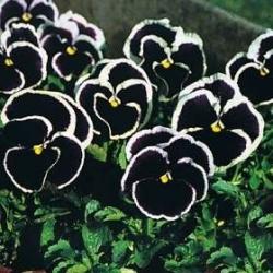 Dev Koyu Mor Hercai Menekşe tohumları-Viola x wittrockiana-320 tohumları - Viola x wittrockiana