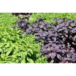 Базилик огоро́дный - смесь - 325 семена - Ocimum basilicum