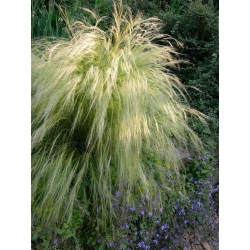 Mexican Feather Grass Pony Tails seeds - Stipa tenuissima - 100 seeds