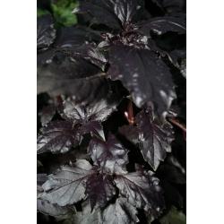 Albahaca - rojo - 325 semillas - Ocimum basilicum
