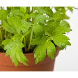 Hạt giống Lovage - Levisticum docinale - 130 hạt giống - Levisticum officinale