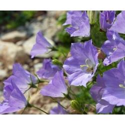 Carpathian Harebell, Tussock Bellflower seeds - Campanula carpatica - 3900 seeds