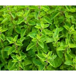 Hạt giống Marjoram - Origanum Majorana - 3000 hạt - 9750 hạt - Origanum majorana L.