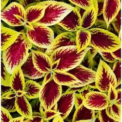 Coleus, hạt cây tầm ma sơn - Plectranthus scutellarioides - 330 hạt