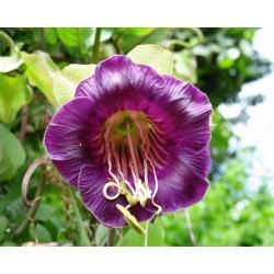 Семена фиолетовой чашки и виноградной лозы - Cobaea scandens - 6 семян - семена