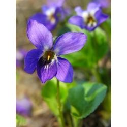 Sweet Violet, English Violet seeds - Viola odorata - 120 seeds