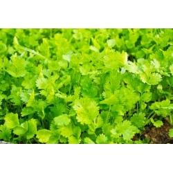 Sējas koriandrs - 300 sēklas - Coriandrum sativum