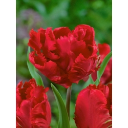 Тюльпан Erna Lindgreen - пакет из 5 штук - Tulipa Erna Lindgreen