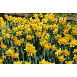 Narcissus Fortissimo - narcis Fortissimo - 5 kvetinové cibule