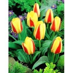 Tulipa Gluck - paquete de 5 piezas