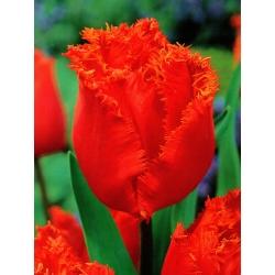 Тюльпан Noranda - пакет из 5 штук - Tulipa Noranda