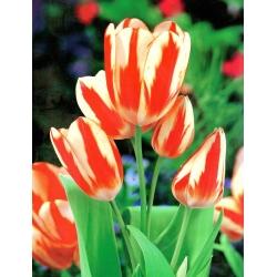 Tulipa Sylvia Warder - Tulip Sylvia Warder - 5 lampu