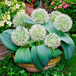 Allium karataviense - 3 bebawang - Allium karataviense Ivory Queen