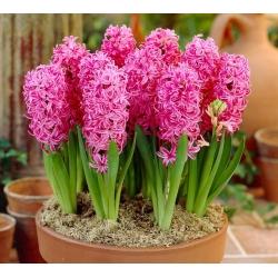 Hyacinthus Pink Pearl - Hyacinth Pink Pearl - 3 củ -  Hyacinthus orientalis