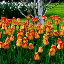 Tulipa Banja Luka - Tulip Banja Luka - 5 bulbs